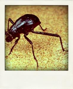 weisserwüstenkäfer