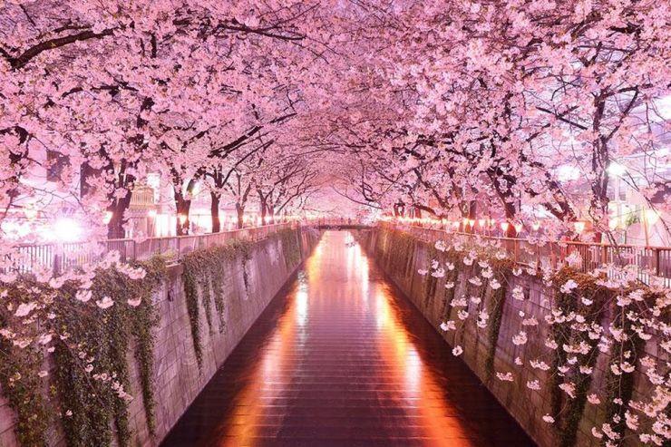 kirschblüten_japan