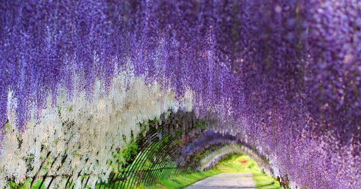 wisteria_japan